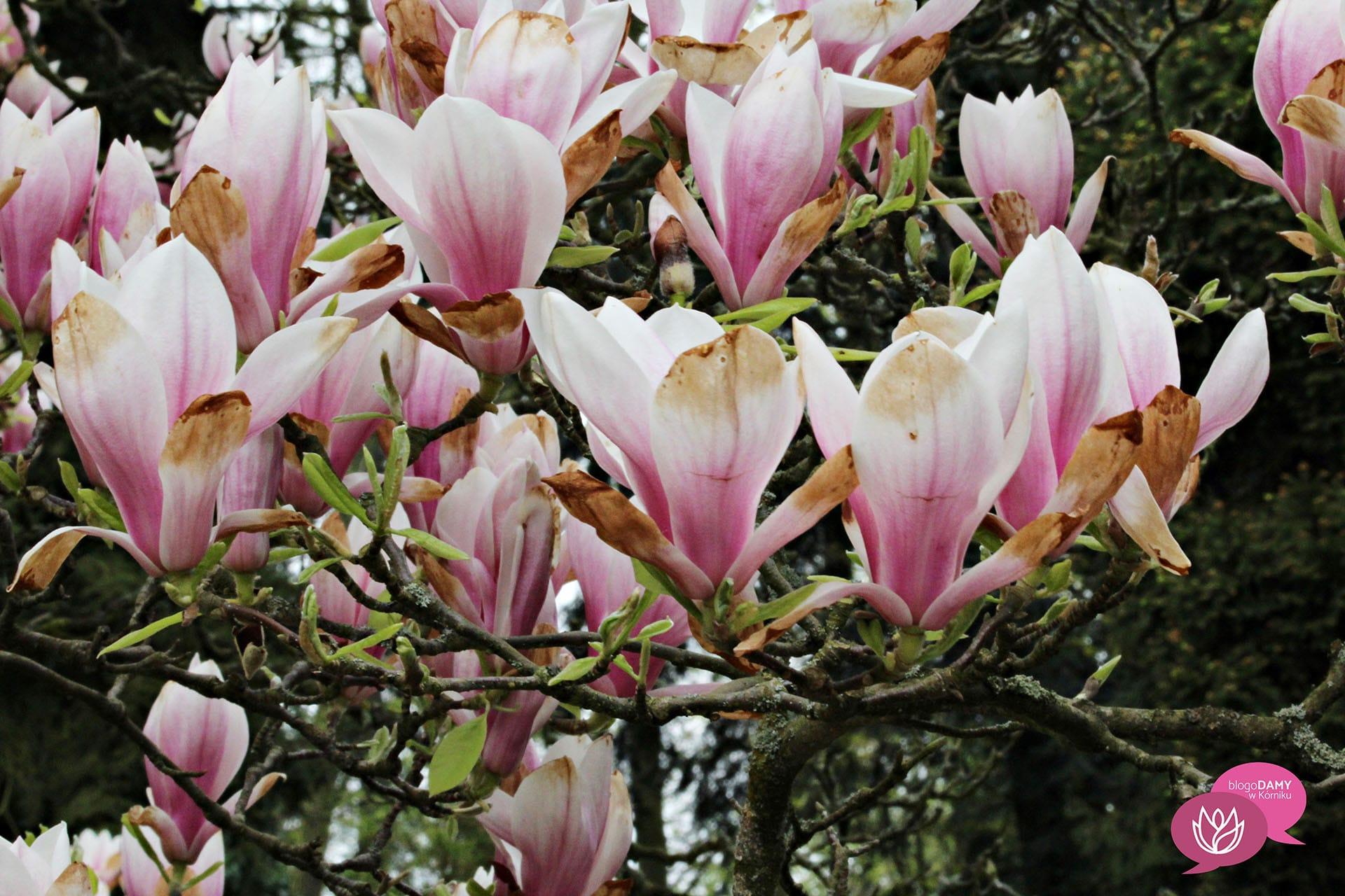 BlogoDamy w Kórniku magnolie